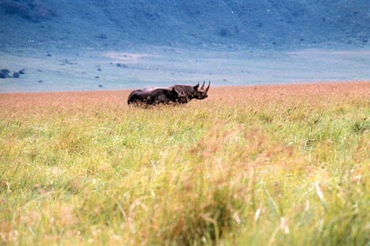 Paisibles rhinocéros