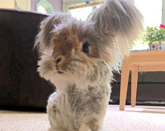 Wally le lapin et ses oreilles touffues, la nouvelle star du Web