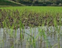 Agitateurs de goût : Le riz de Camargue