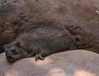 L'école des bébés animaux : Une naissance chez les capybaras
