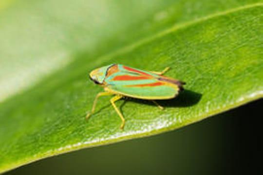 Cicadelle: comment l'identifier et la traiter