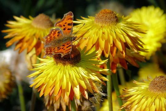 Papillon Robert-le-Diable