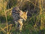Serval, le félin des savanes africaines