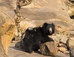 Baloo, le paresseux