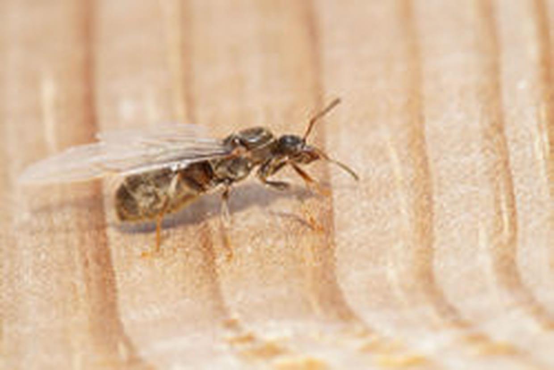 Fourmi volante comment s 39 en d barrasser - Comment eliminer des fourmis dans le jardin ...