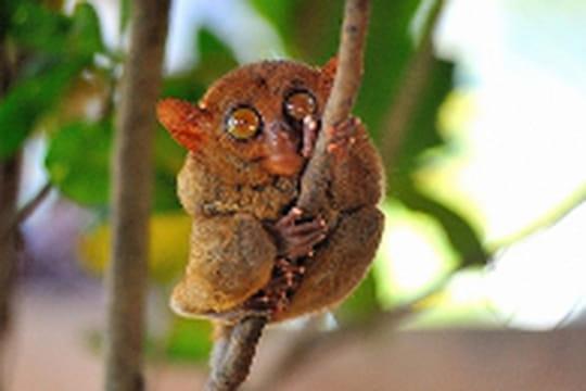Le tarsier en danger aux Philippines