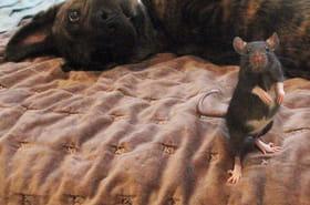 Osiris et Riff Ratt : un rat et chien sont amis et font le buzz