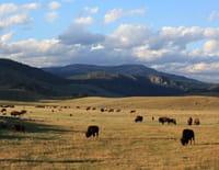 Yellowstone Park : Se nourrir, se reproduire
