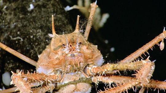 Crabe majidé