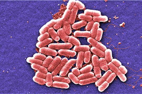 Une bactérie indispensable à la digestion