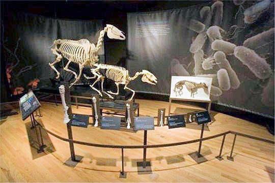 Evolution des chevaux