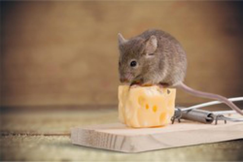 Piège à souris: choisir un piège efficace pour s'en débarrasser