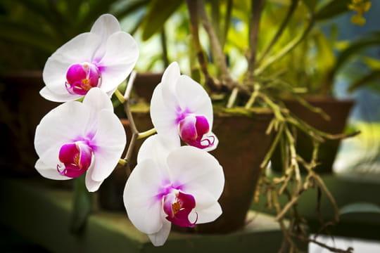 Orchidée: entretien, arrosage et floraison
