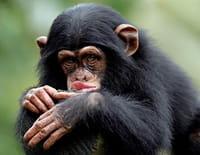 Nous, les bébés animaux : Les chimpanzés