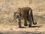 Le tigre le plus célèbre du monde : Machli