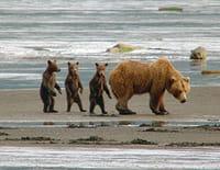 Dans la peau d'un grizzly : Pas si bête