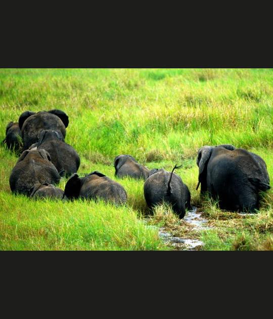 La longue marche des éléphants de Tanzanie