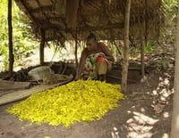 Tous les parfums du monde : L'ylang-ylang des Comores