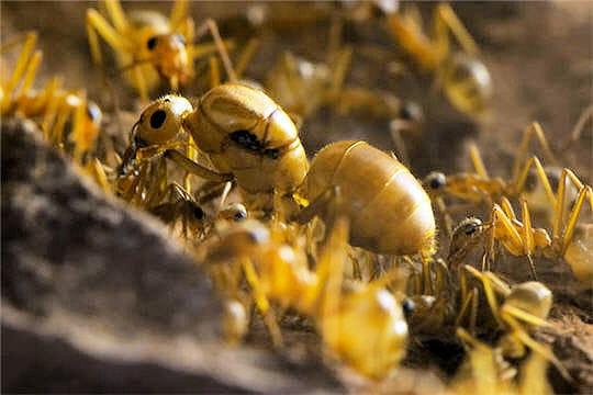 Reine fourmi