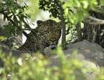 Le léopard qui voulait devenir roi