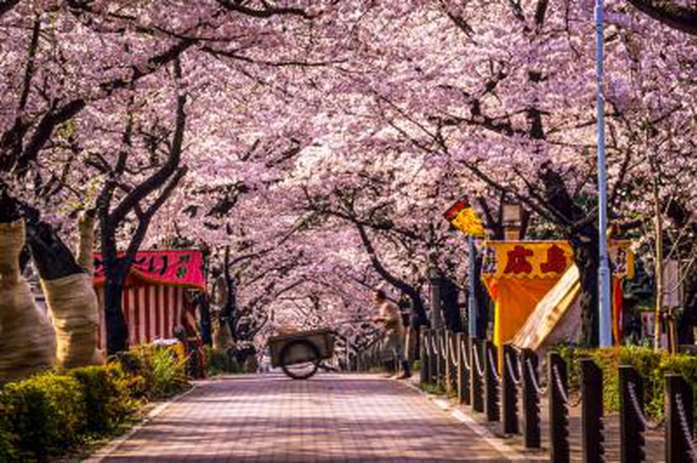 sakura 2014 les cerisiers japonais d ploient leurs couleurs. Black Bedroom Furniture Sets. Home Design Ideas