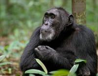 Ngogo : La guerre des singes