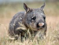 Indonésie sauvage : Australie : au pays des wombats