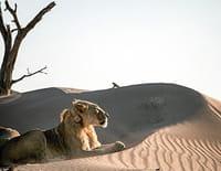 Lions de Namibie : Les rois du désert