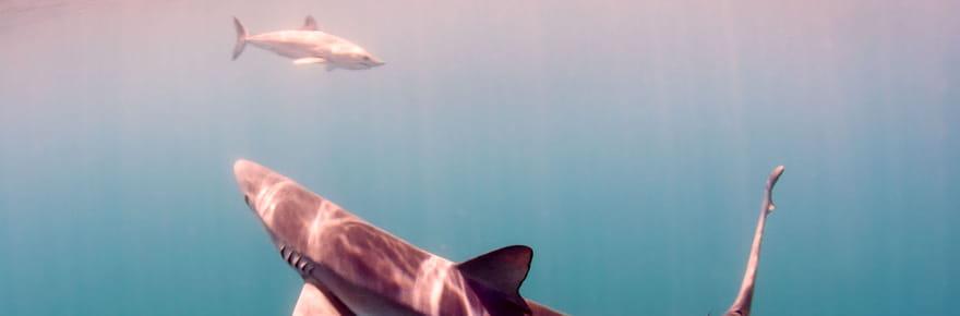 Il pêche un requin de 3mètres et le relâche: pas de record enregistré!