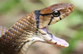 Des venins de serpents sous exploités