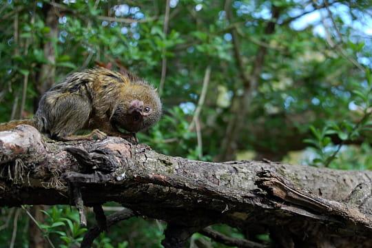 Le ouistiti pygmée, un singe-écureuil d'Amazonie