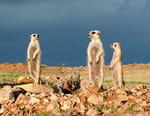 Gang de suricates