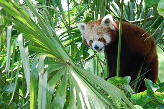 Petit panda, Chine