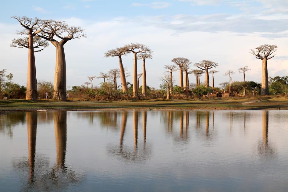 Les baobabs, rois deMadagascar