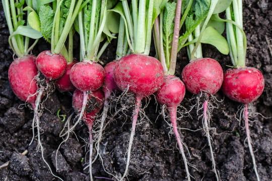 Radis: plantation, entretien et arrosage des radis roses
