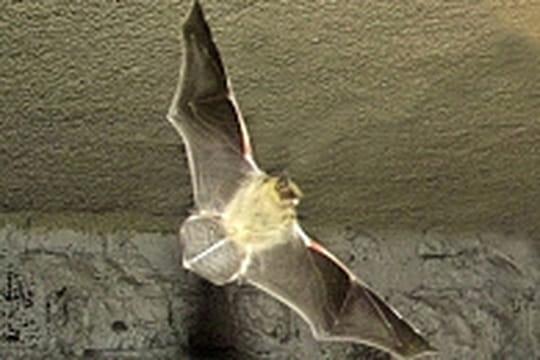 Les chauves-souris perturbées par le tournage d'Expendables 2