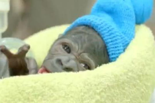 Un petit gorille naît par césarienne