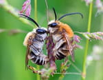 Les abeilles sauvages
