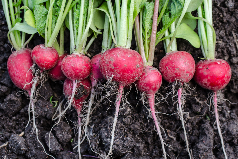Radis: culture, entretien et arrosage des radis roses