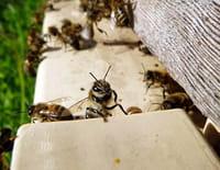 C'est pas sorcier : Le déclin des abeilles