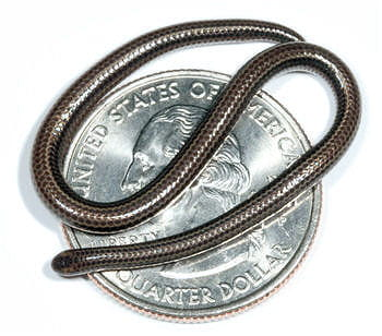 ce serpent paraît bien inoffensif sur cette pièce de monnaie;