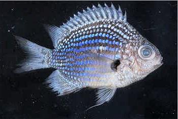 contrairement à son nom, ce poisson ne vit pas dans les abysses.