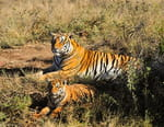 Sundari, la tigresse qui voulait avoir des petits