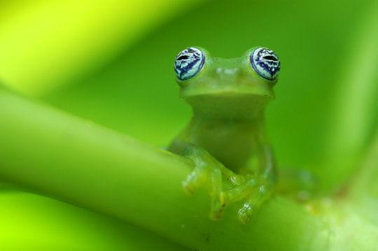 Grenouille Costa Rica grenouille, costa rica