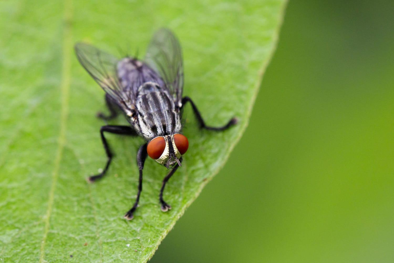 Comment se débarrasser des mouches: nos astuces anti-mouches