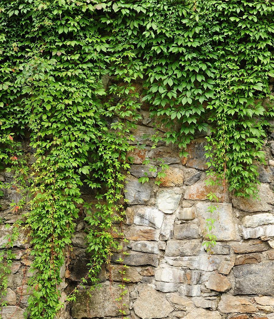Laisser pousser le lierre sur un mur s parateur - Comment se debarrasser du lierre ...