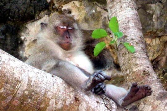 La méditation du singe