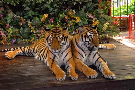 Tigres carte postale