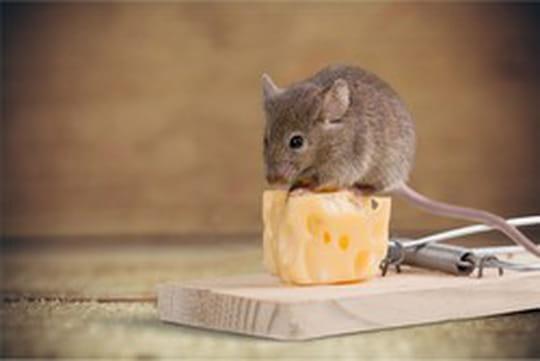 Piège à souris: choisir un piège efficace