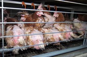 L214:les images insoutenables de la souffrance animale